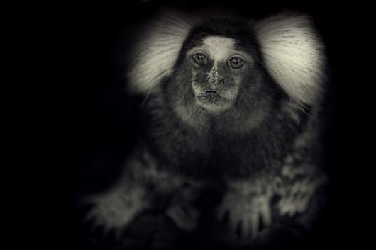 Billede af Little Monkey af Gustavo Orensztajn