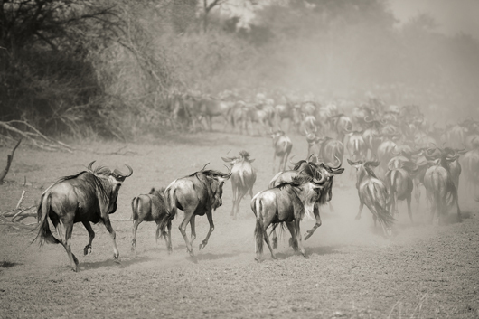 Image of   Wilderbeest in Serengeti af Julie Aucoin