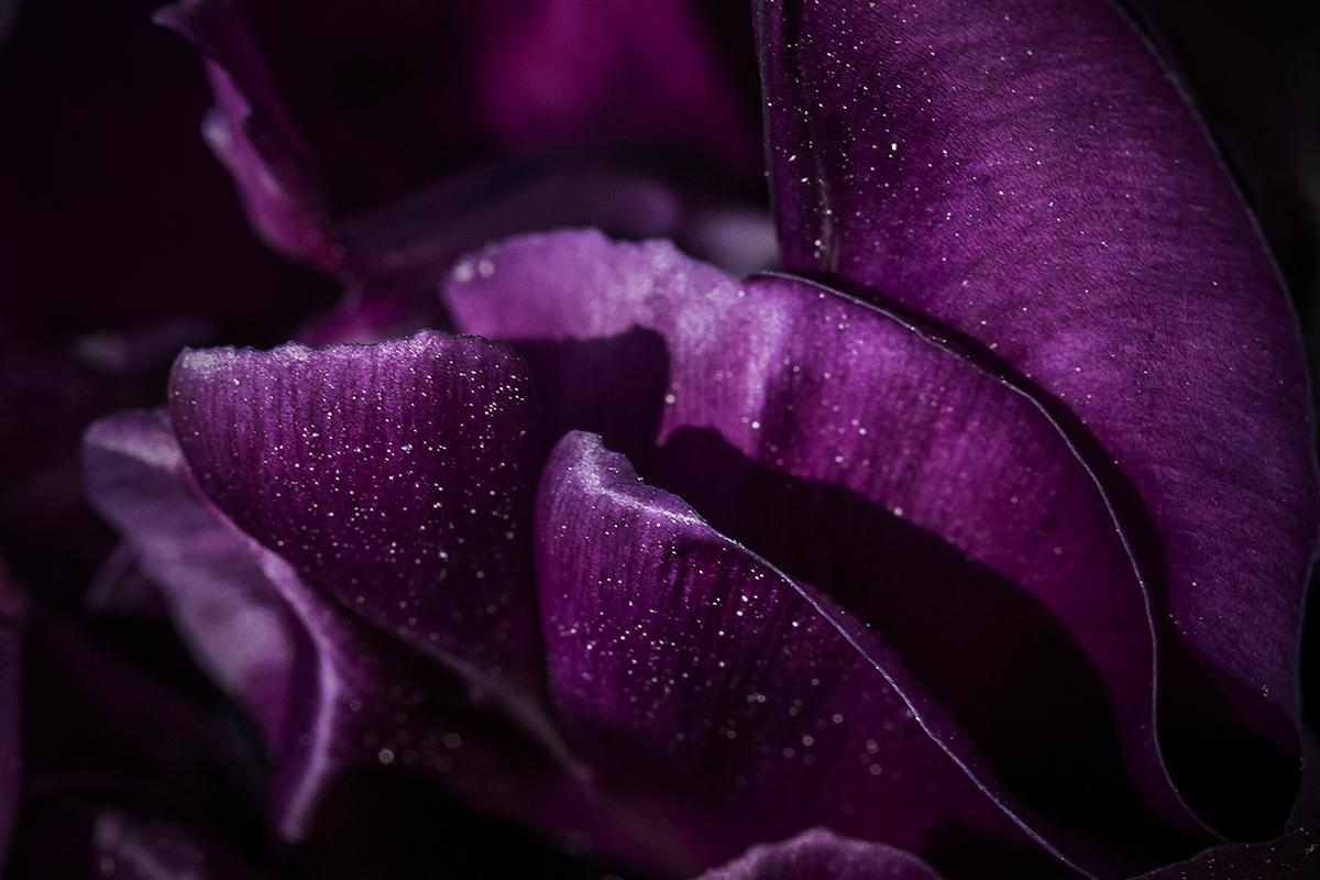 Tulipetal 01 af  Wilfred Gachau