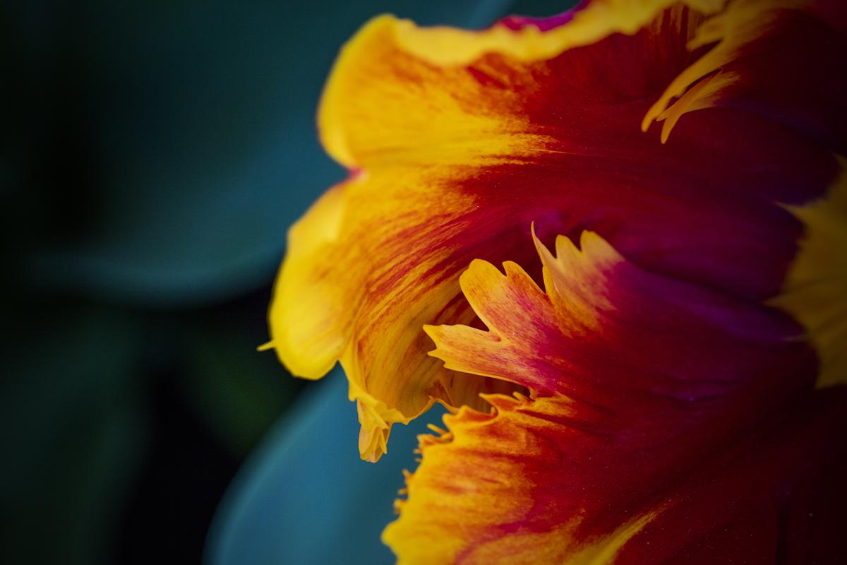 Tulipetal 02 af  Wilfred Gachau